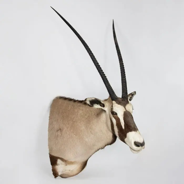 gemsbock- taxidermy-mount