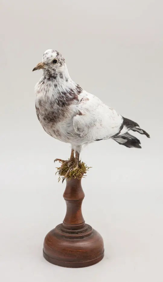 taxidermy-pigeon-on-wood-stand