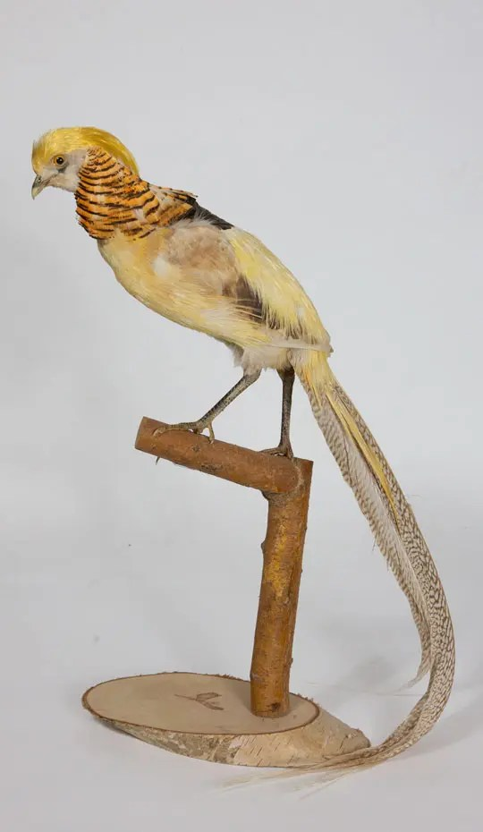 yellow-bird-taxidermied