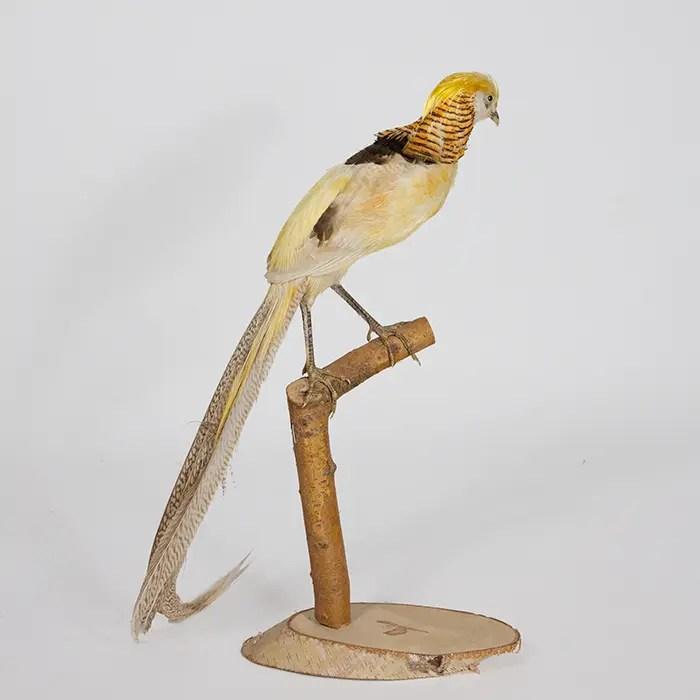 yellow-golden-pheassant