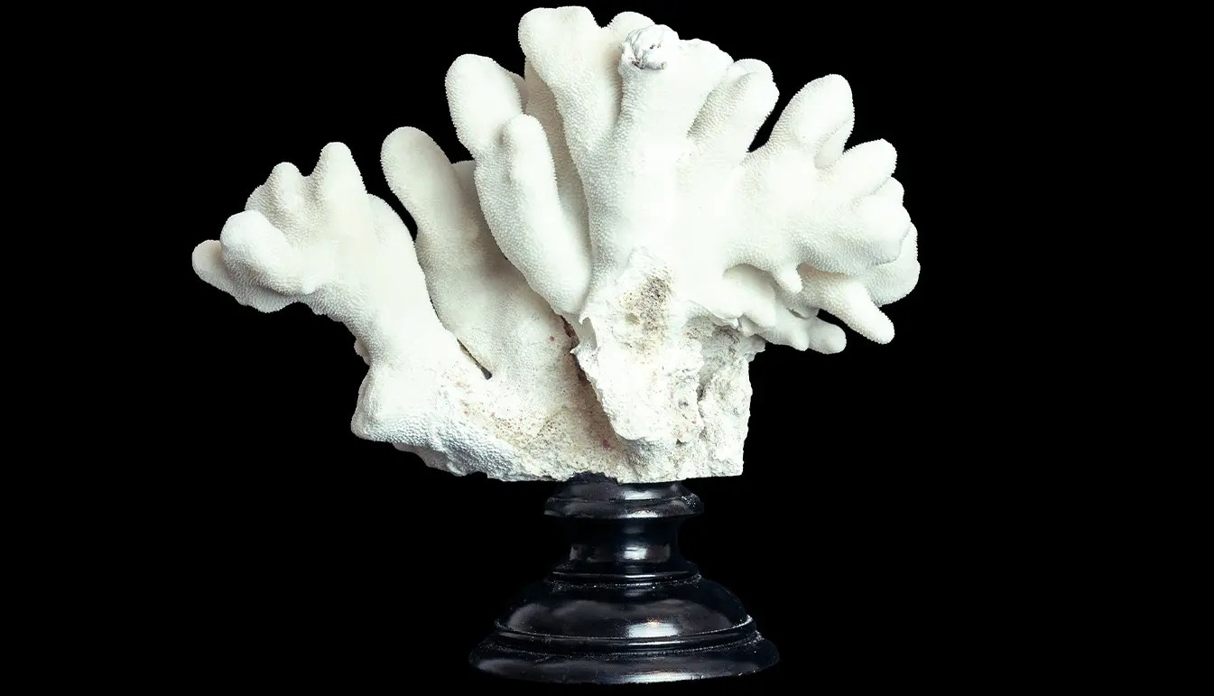 Elkhorn Coral mounted on black stand