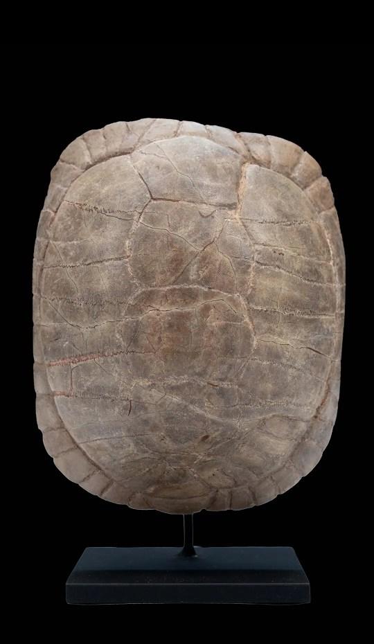 Small Sized Mounted Turtle Fossil South Dakota Oligocene Period