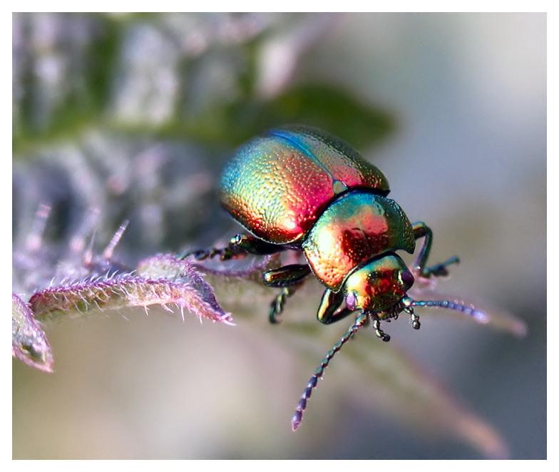 rainbow-metallic-beetle.jpg (784×662)