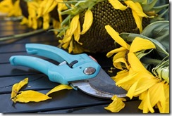 Un sécateur bleu est posé près de fleurs de tournesol.