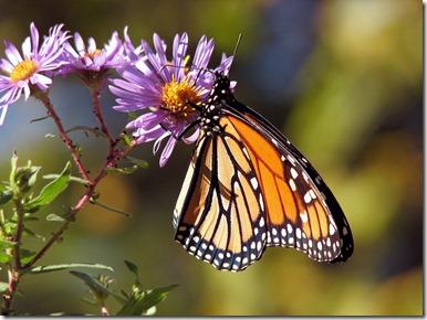 Biodiversité et papillon