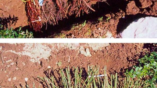Faut-il planter en conteneur, en motte ou à racines nues ?