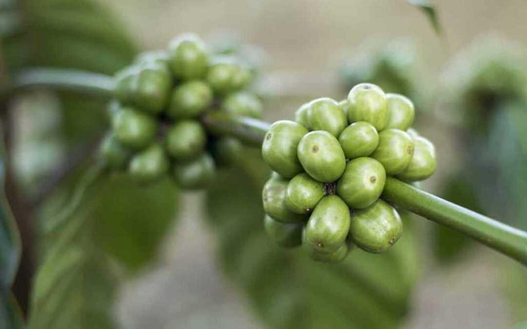Acido clorogenico: un potente antiossidante.
