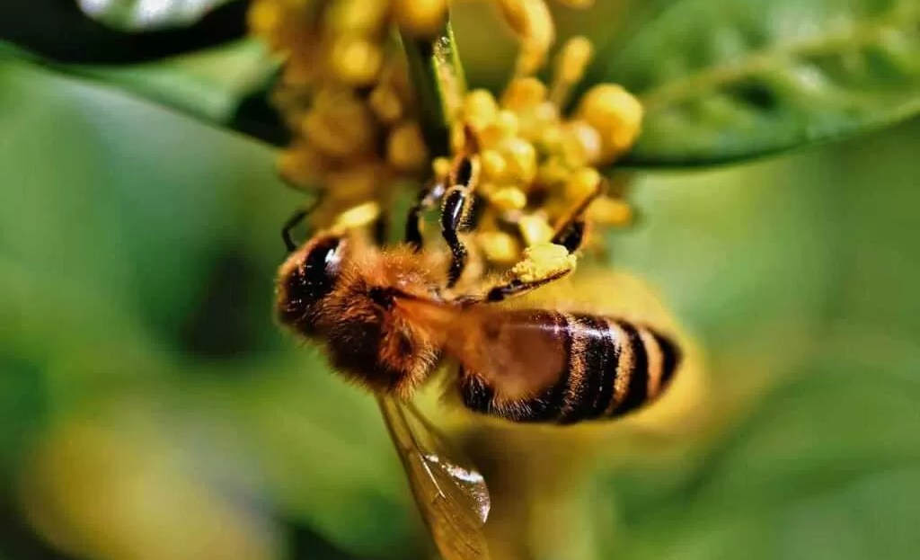 veleno di ape - fiore polline miele