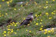 ACENTOR ALPINO (Prunella collaris), Alpine acentor