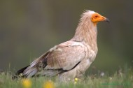 Alimoche común (Neophron percnopterus), Egyptian vulture