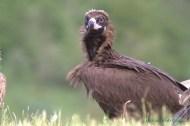 Buitre negro (Aegypius monachus). Cinereous vulture, black vulture