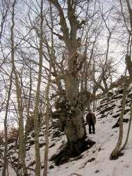 Crémenes, hayas en la Sierra del Castillo 28 enero 2013 3960