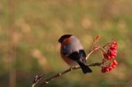 Camachuelo (Pyrrhula pyrrhula). Bullfinch