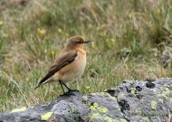 Collalba gris (Oenanthe oenanthe ), wheatear