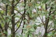 Curruca zarcera (Sylvia communis), The common whitethroat