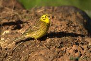 Escribano cerillo (Emberiza citrinella), yellowhammer