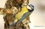 Herrerillo común, (Cyanistes caeruleus), blue tit