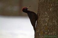 Pito negro (Dryocopus martius), black woodpecker