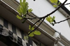 Fig family tree