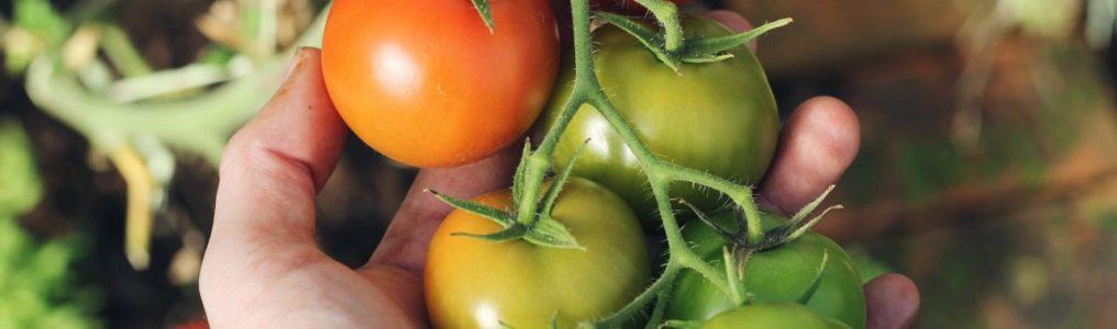 トマトの菜園