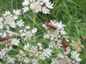 Soldier Beetles have been very active on the Cow Parsley