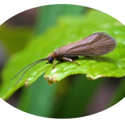 The caddisfly (Trichoptera) Synagapetus dubitans McLachlan, 1879