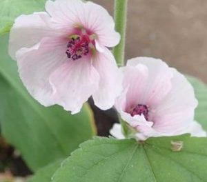 There's No Such Thing as a Weed: Marshmallow (Althea officinalis)