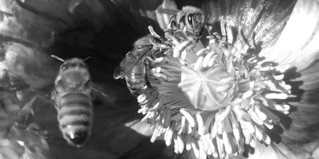 As the Worm Turns: Honeybee forage flowers