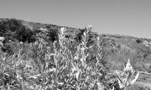 There's No Such Thing As A Weed: Sagebrush(Artemisia tridentata, A. frigida, A. ludoviciana)
