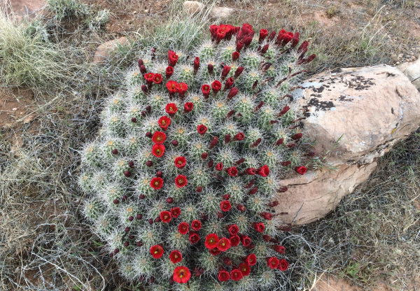 Photo of a cactus in bloom with red flowers in Moab.