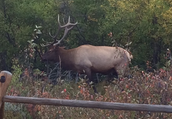 Photo of a bull elk in Fall.