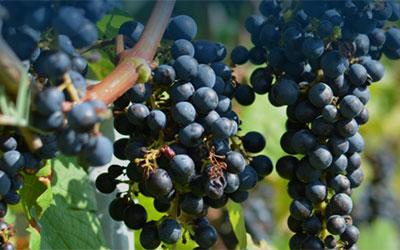 Μειωμένη παραγωγή Γαλλικού οίνου