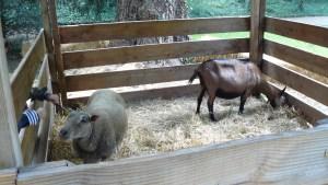 Des moutons et chèvres à la Fête des Jardins