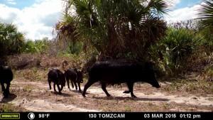 wild hog with babies