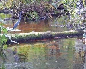 Tri colored heron at BRS