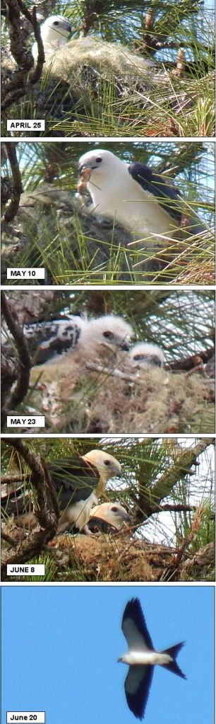 Swallowed-tailed kite birds growing up