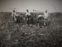 Crew planting seedlings 1949