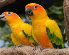 Jandaia-amarela