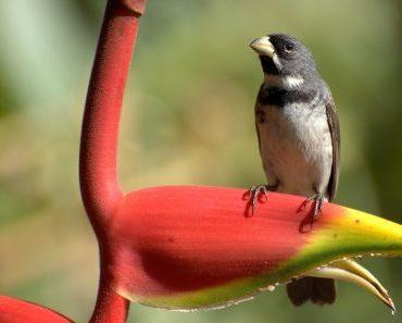 coleirinho (Sporophila caerulescens)