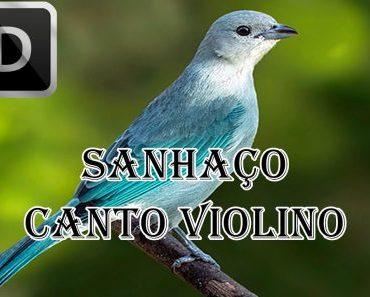 Sanhaço-azul (Tangara episcopus)