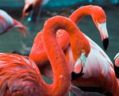Saiba Tudo Sobre o Flamingo americano   Casa dos Pássaros