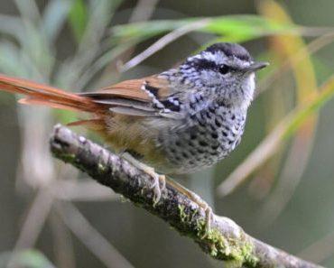 Saiba Tudo Sobre a Choquinha da serra   Casa dos Pássaros
