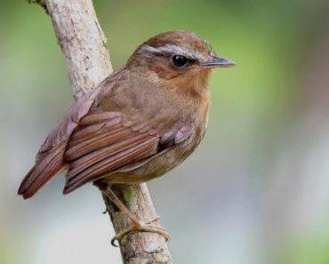 Saiba Tudo Sobre o Chupa dente   Casa dos Pássaros