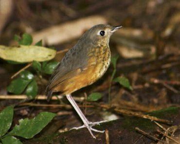 Saiba Tudo Sobre o Pinto do mato   Casa dos Pássaros