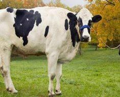 Tamanho Da Vaca, Peso E Altura