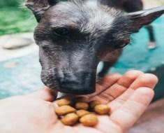 Paladar canino: como os cachorros percebem os sabores
