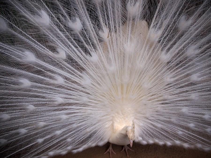 Pavo real albino en el zoo de castellar
