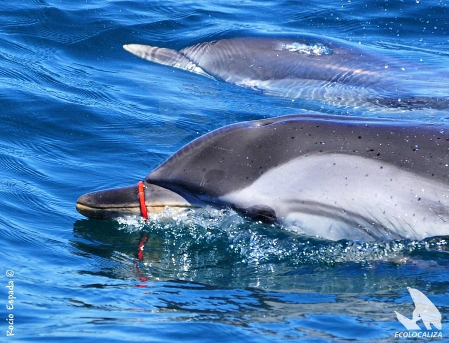 Delfin nadando con anilla enganchada en la boca