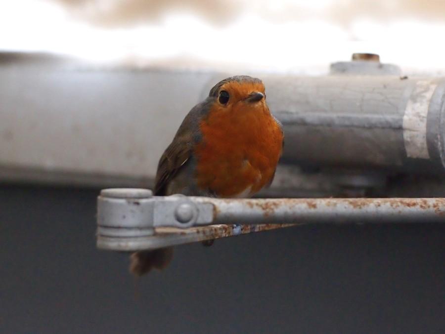 petirrojo posado en una brra de metal en el balo de la Eco Reserva de Ojén