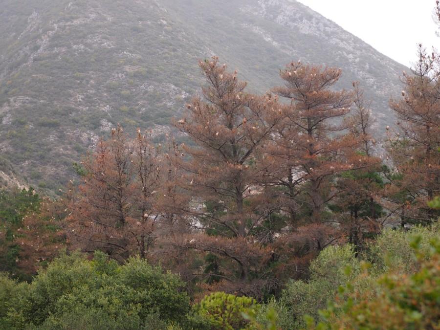 Copas de pinos completamente comidas y plagadas de nidos de procesionaria